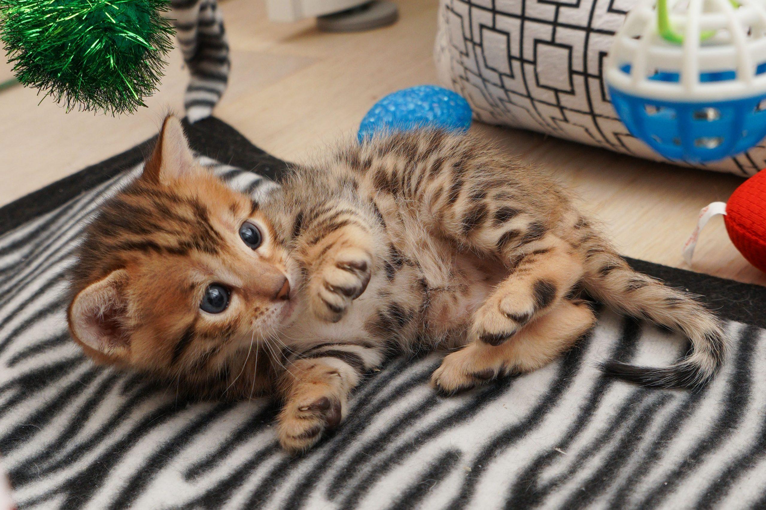 bengal kattunge leker