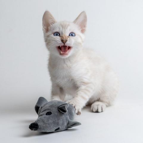 snöbengal bengal kattunge
