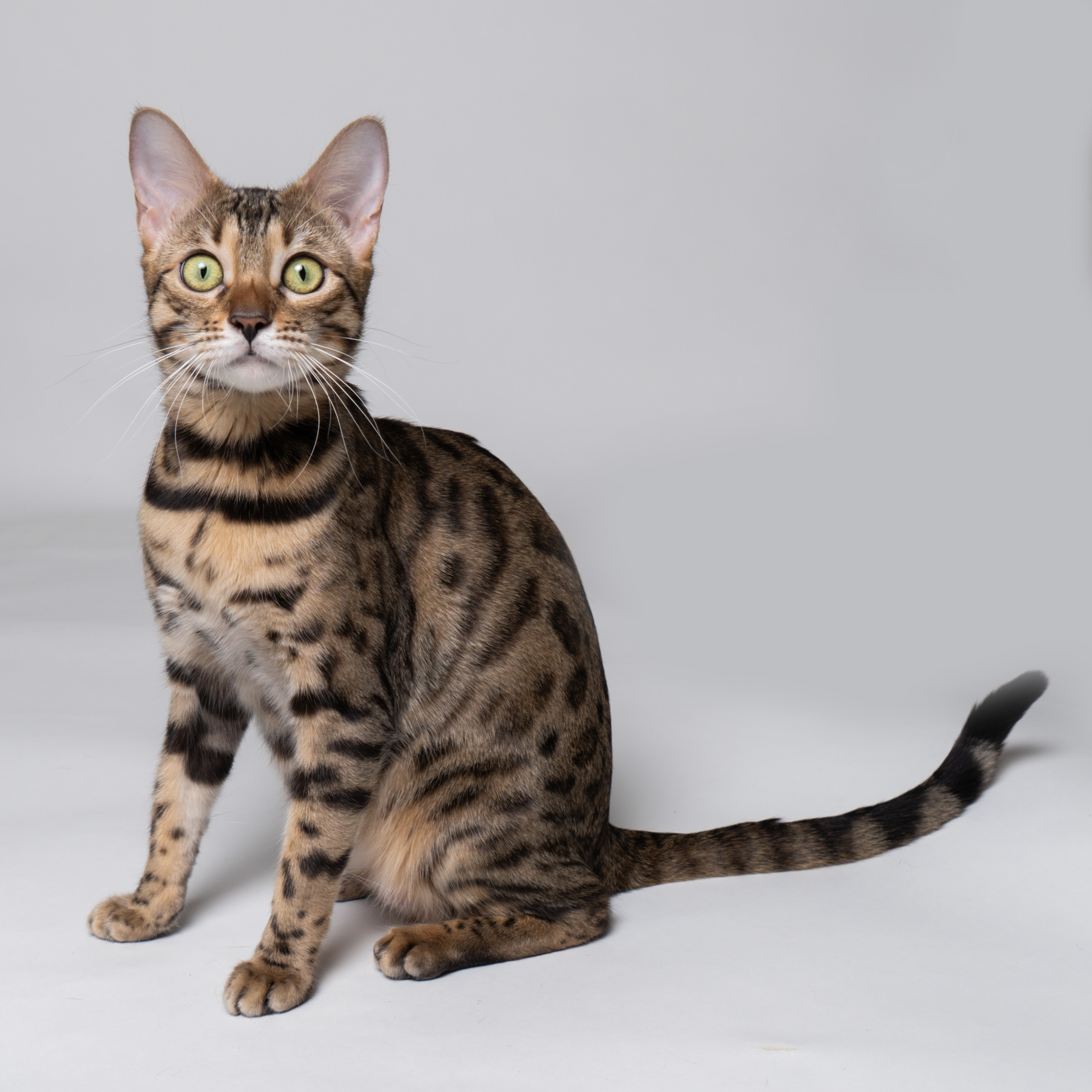 svartspotted bengal katt cat
