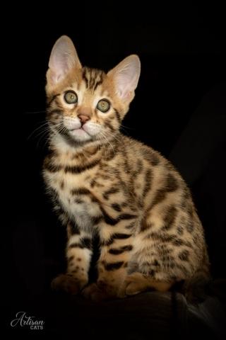 Svartspotted bengal kattunge katt cat kitten