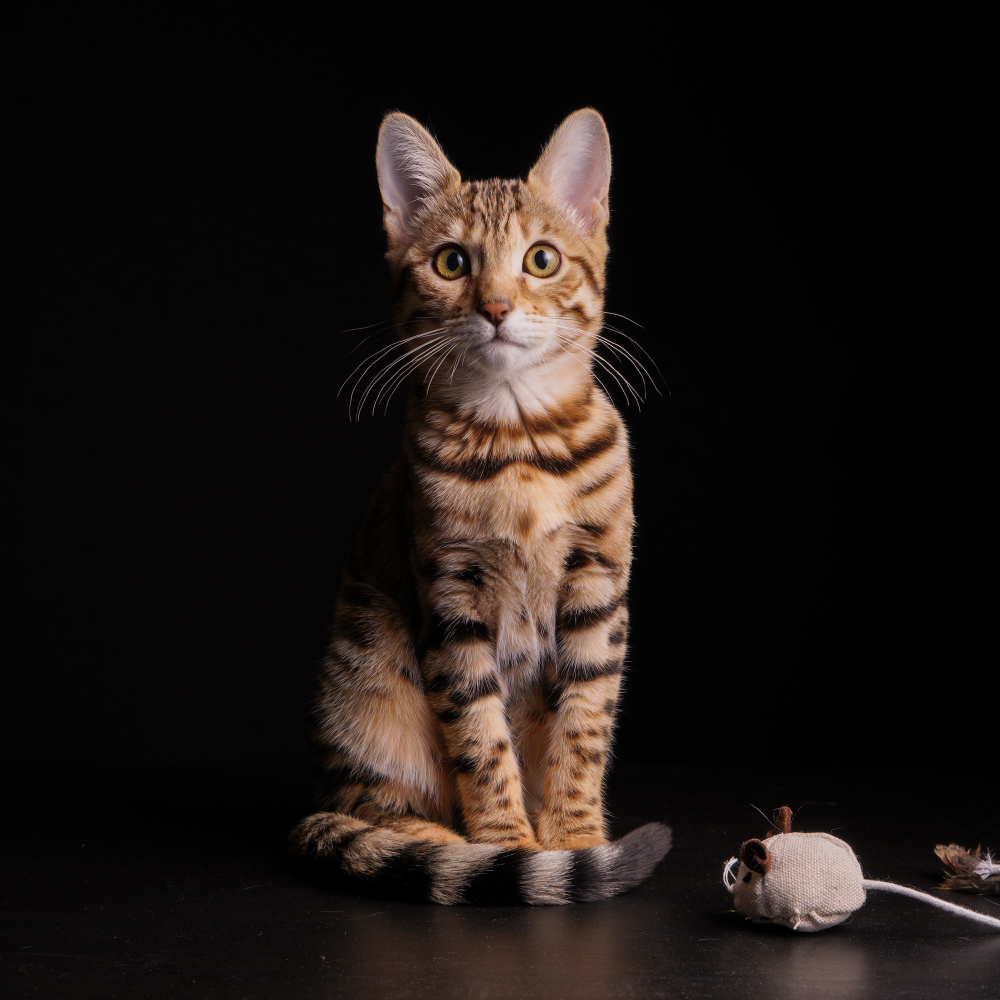 bengal kattunge
