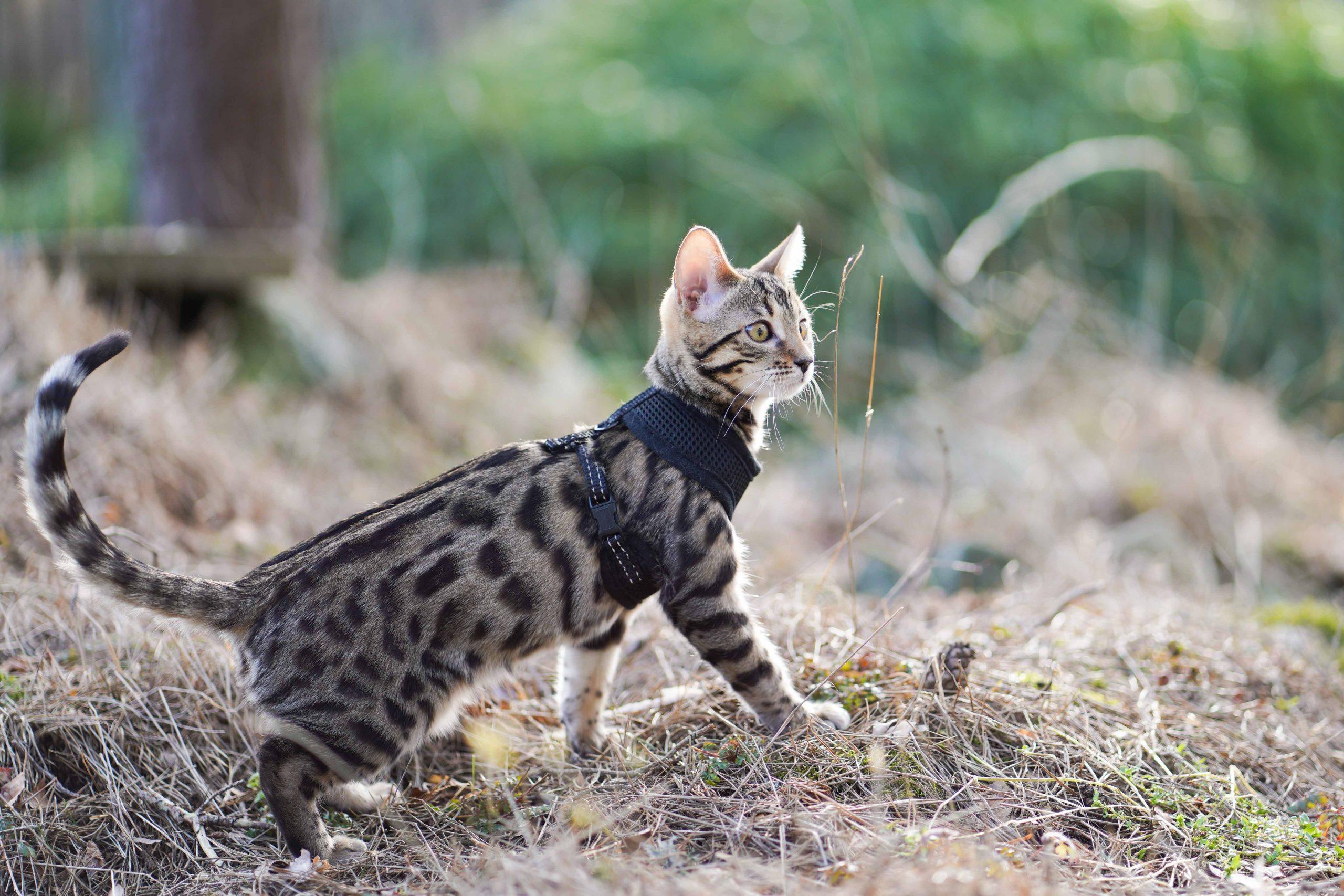 Bengalkattunge svartspotted