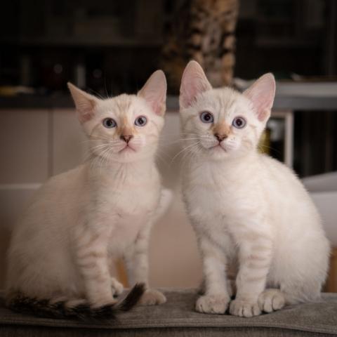 Snöbengal kattungar