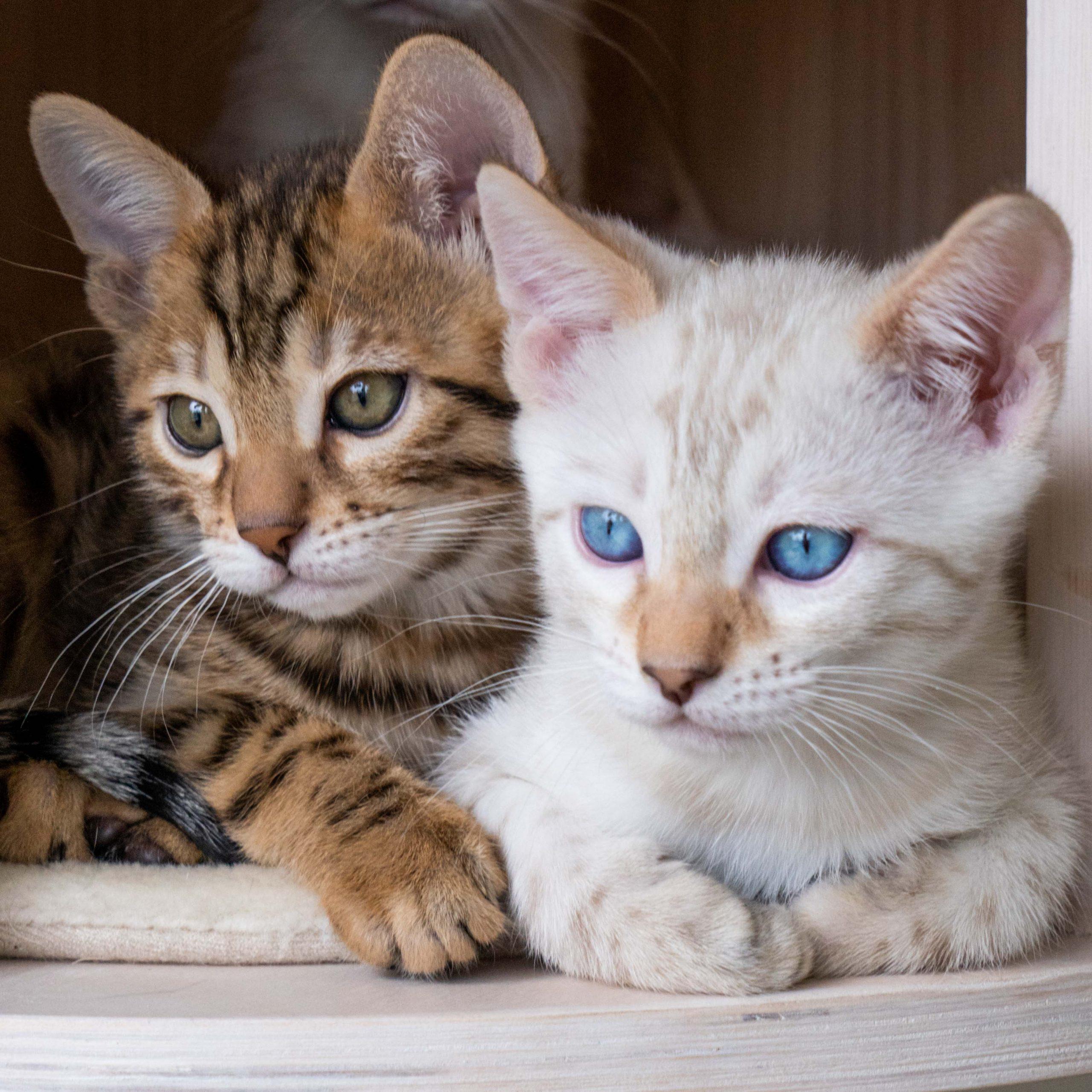 Bengalkattungar snöbengal och svartspotted