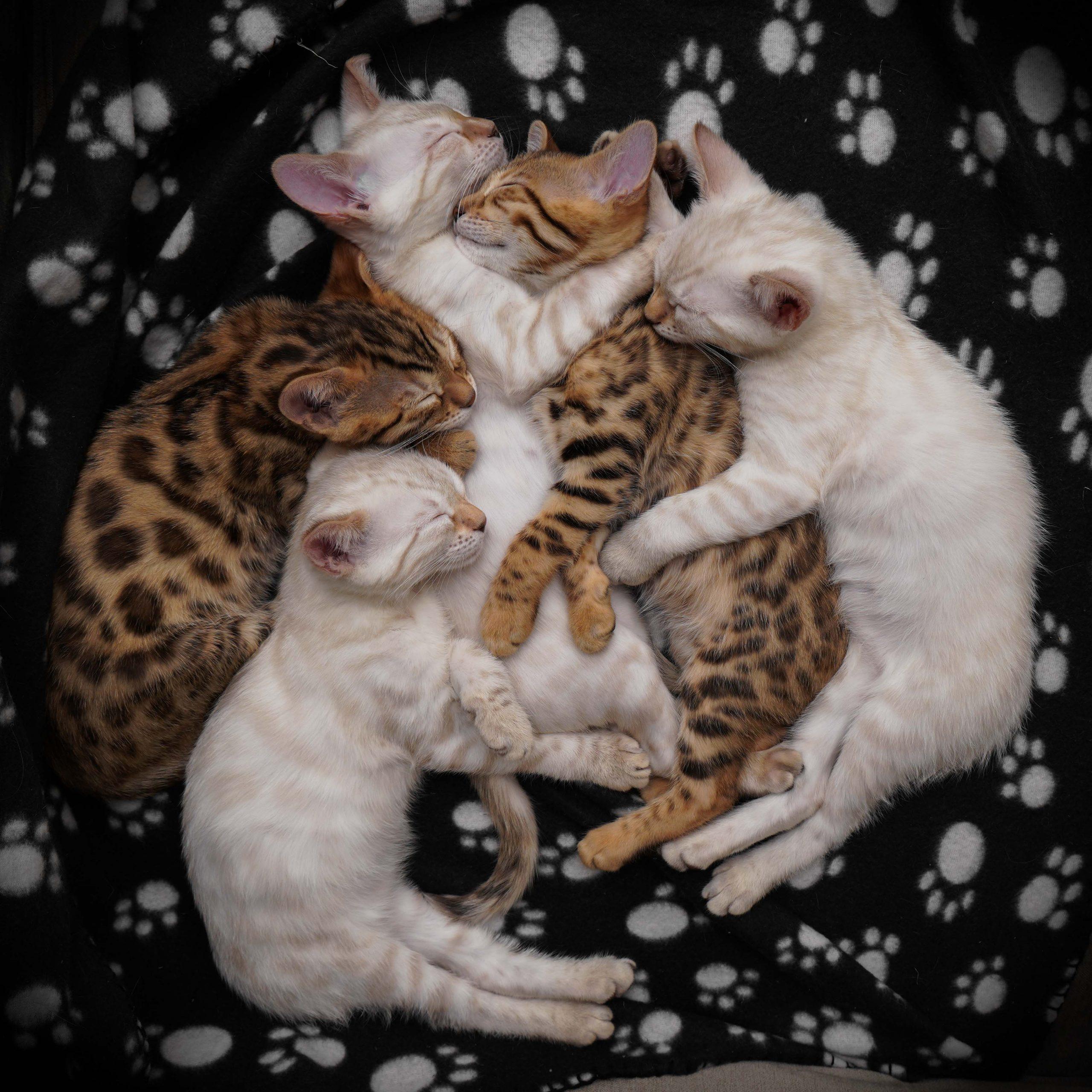 Bengalkattungar sover tillsammans