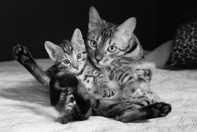 Bengalkattunge med mamma
