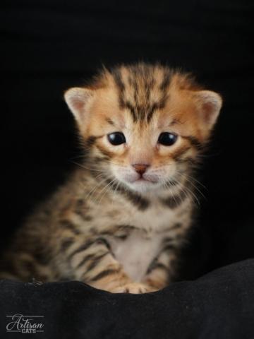 bengal kattunge baby