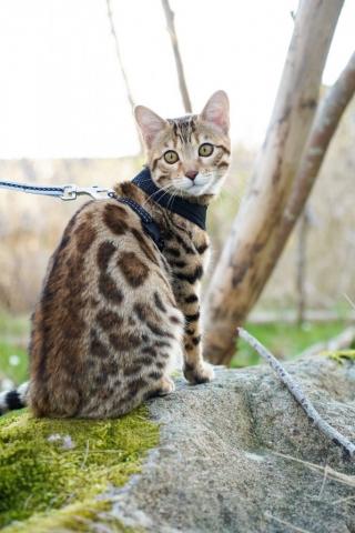 bengal kattunge i skogen