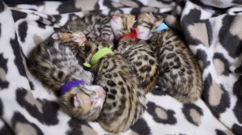 Newborn bengal babies kattungar